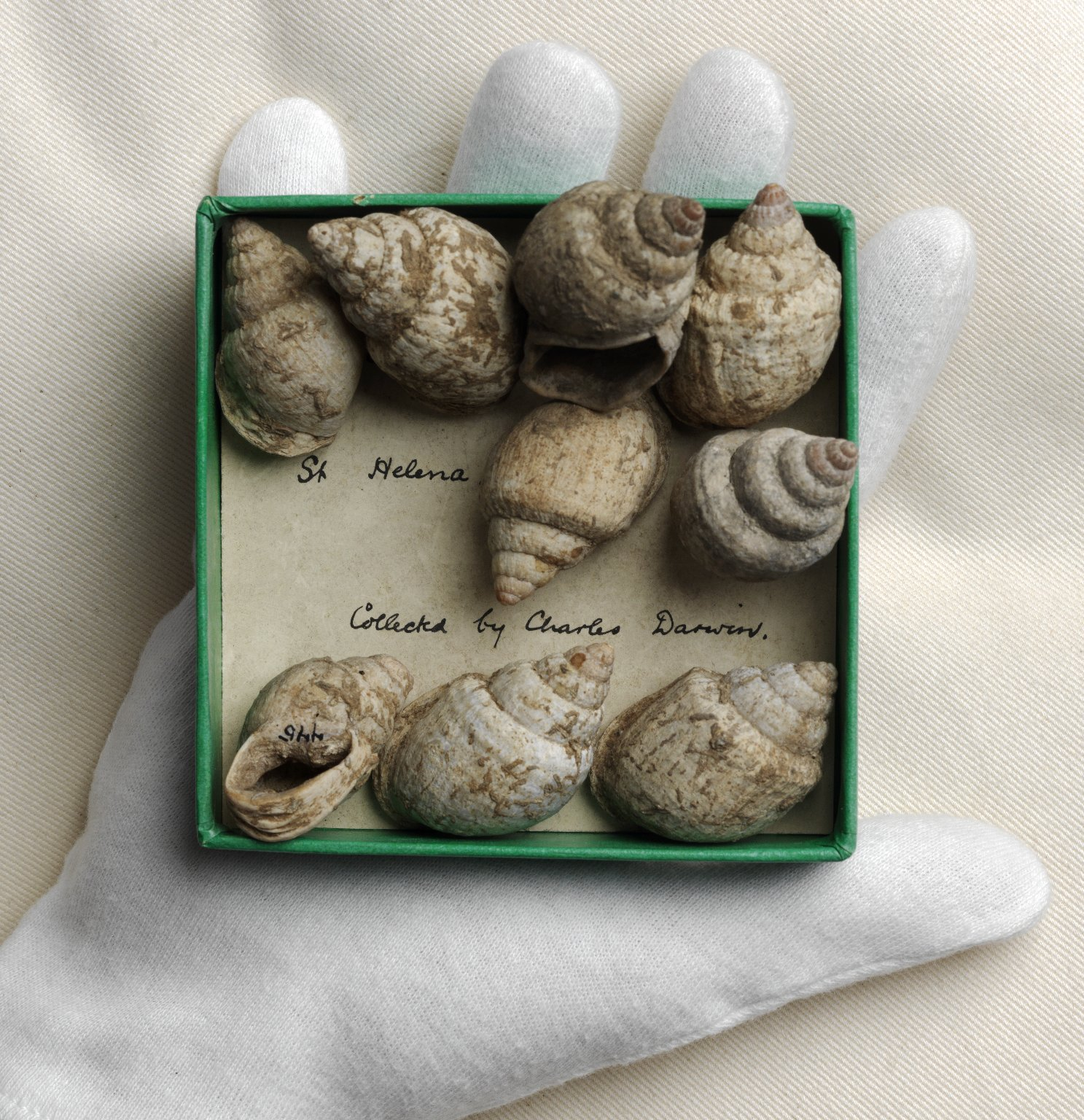 A hand holding the nine gastropods in a box