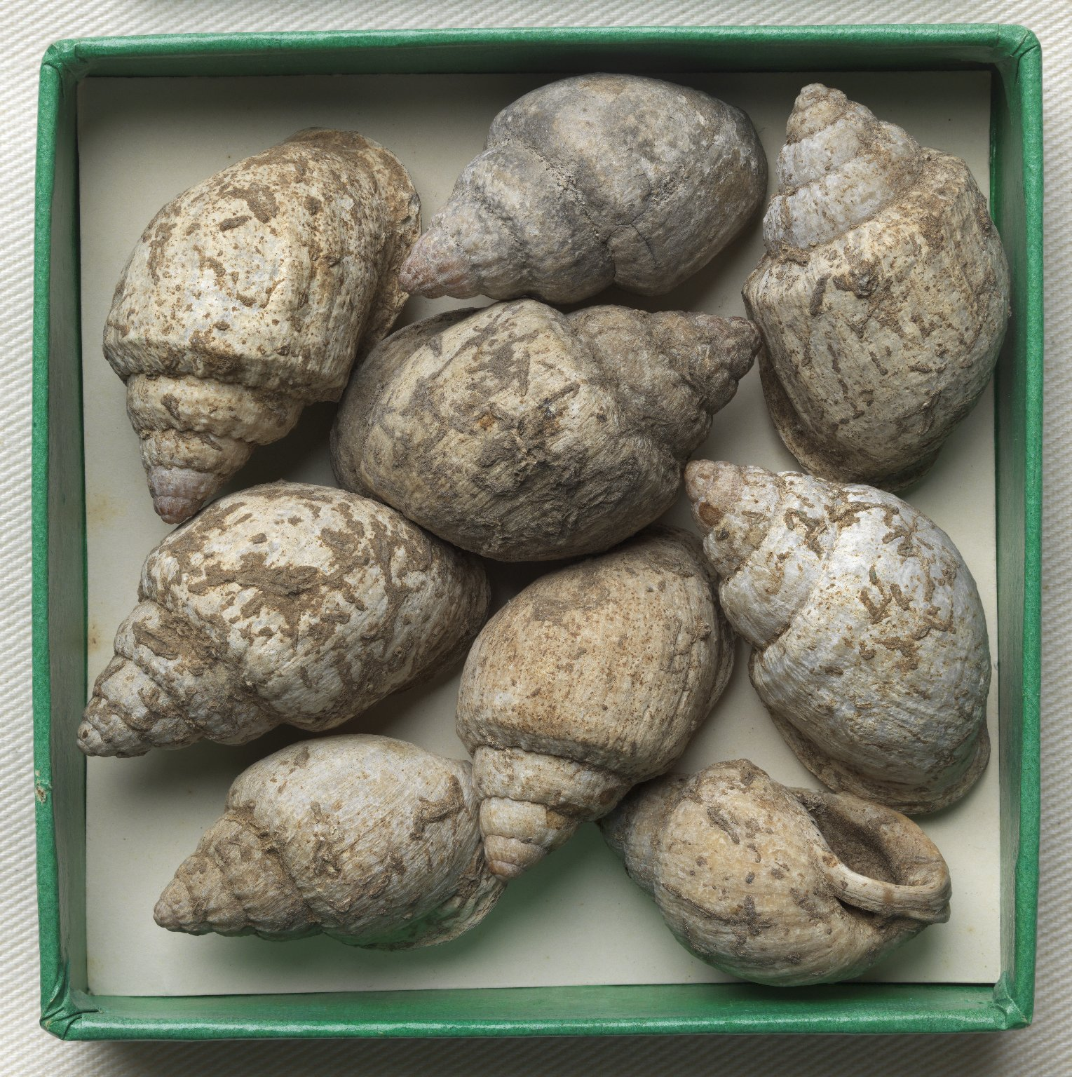 Nine Gastropods in a box